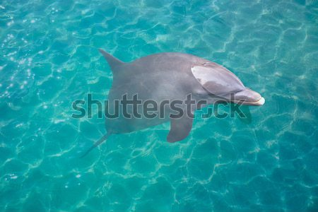 Dolphin in turquoise water photomount  Stock photo © lunamarina