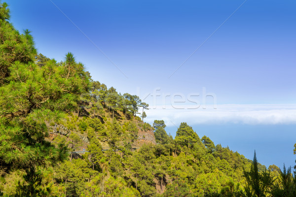 Canary Pines La Palma in Caldera de Taburiente Stock photo © lunamarina