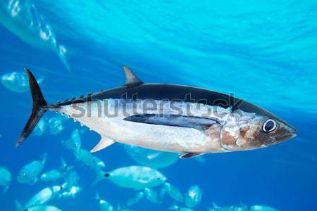 Bluefin tuna Thunnus thynnus underwater Stock photo © lunamarina