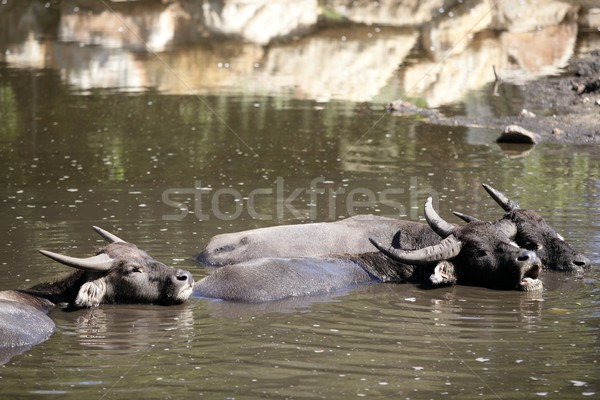 Water buffalos sinking on brown  lake Stock photo © lunamarina