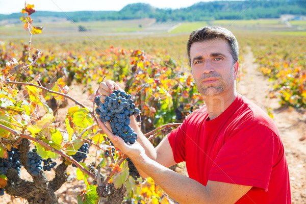 Winemaker harvesting Bobal grapes in mediterranean Stock photo © lunamarina