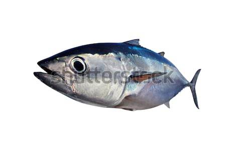Bluefin tuna isolated on white background real fish Stock photo © lunamarina