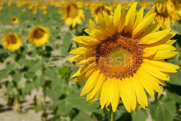подсолнечника плантация желтые цветы красочный небе Сток-фото © lunamarina