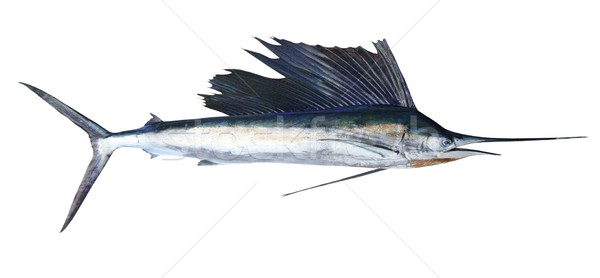Sailfish real fish isolated on white Stock photo © lunamarina