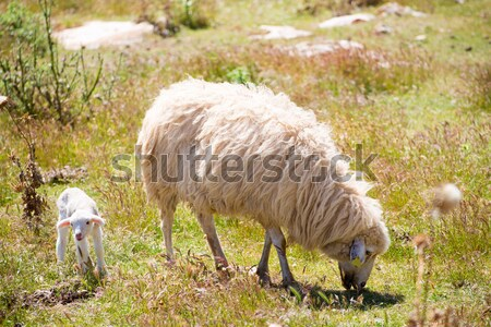 Mother sheep and baby lamb grazing in a field Stock photo © lunamarina