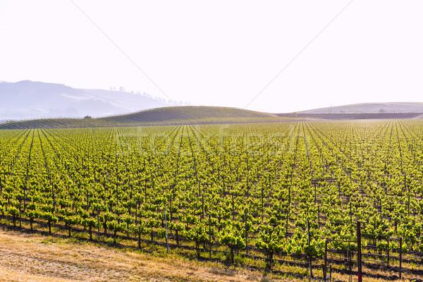 Kaliforniya bağ alan sarmaşıklar bahar şarap Stok fotoğraf © lunamarina