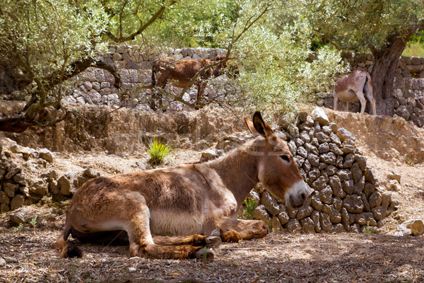 Donkey mule in s mediterranean olive tree field of Majorca Stock photo © lunamarina
