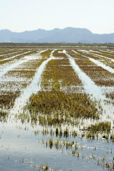 Growing rice fields in Spain. Water reflexion Stock photo © lunamarina
