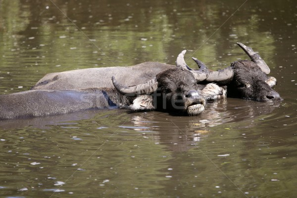Water buffalos sinking on brown  lake Stock photo © lunamarina