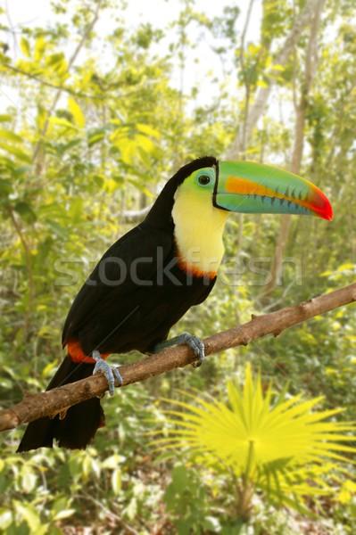 toucan kee billed Tamphastos sulfuratus jungle Stock photo © lunamarina