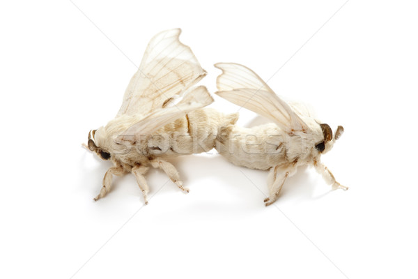 butterfly of silkworm silk worm isolated on white Stock photo © lunamarina