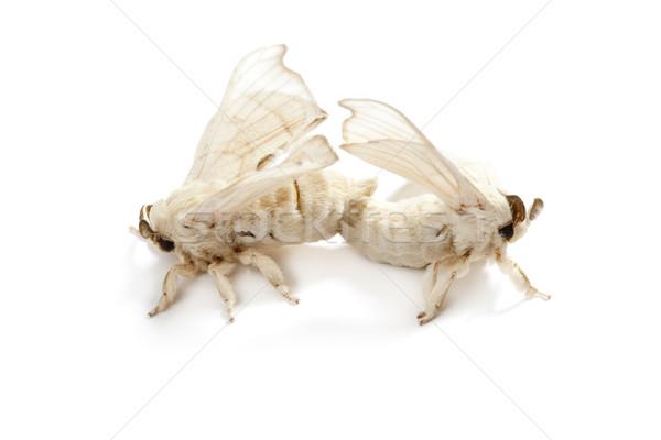 Pillangó selyem kukac izolált fehér kettő Stock fotó © lunamarina