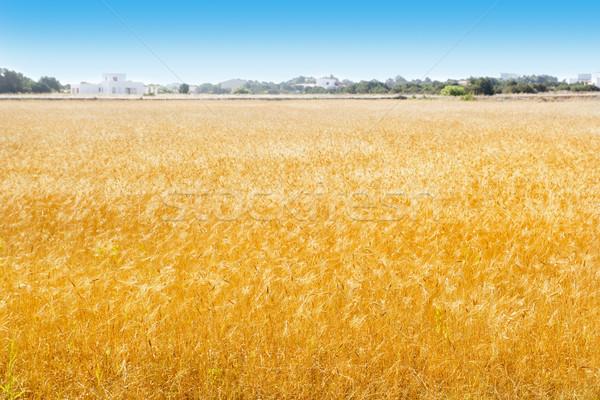 Formentera wheat fields in Balearic islands Stock photo © lunamarina