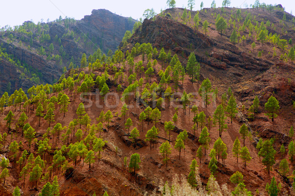 Stock photo: Gran Canaria Canary pine mountains