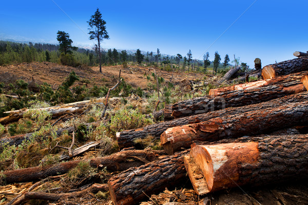 pine tree felled for timber industry in Tenerife Stock photo © lunamarina