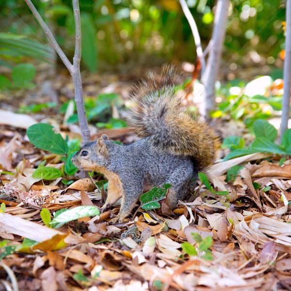 Eastern Gray Squirrel Sciurus carolinensis on park Stock photo © lunamarina