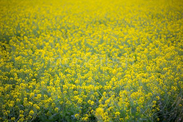 ストックフォト: 黄色 · 春 · フィールド · 選択フォーカス · 地中海 · スペイン