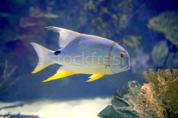 Brautiful tropical fish yellow fin from Red Sea Stock photo © lunamarina