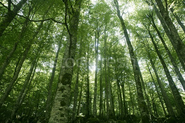 Beech green magic forest woods Stock photo © lunamarina