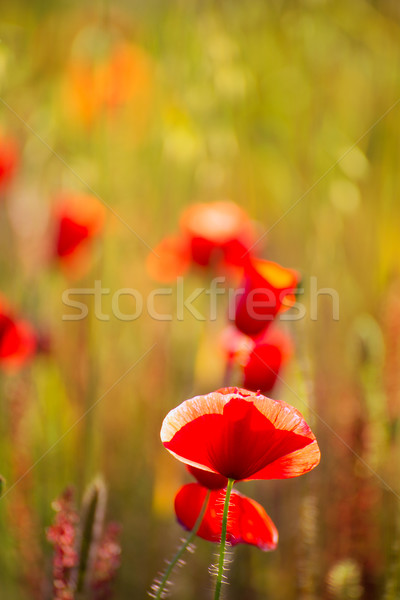 ポピー ケシ 赤い花 春 フィールド 花 ストックフォト © lunamarina