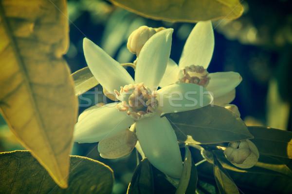 Orange blossom flowers in mediterranean tree Stock photo © lunamarina