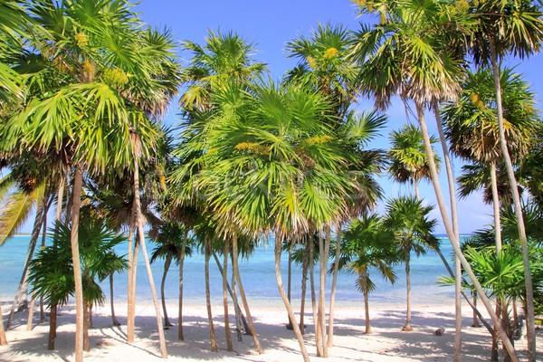 Chit palm tree in caribbean tropical beach Stock photo © lunamarina