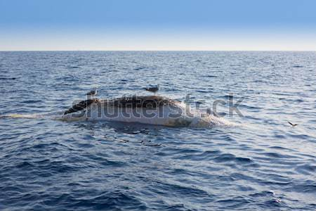 Dead whale upside down floating in ocean sea Stock photo © lunamarina