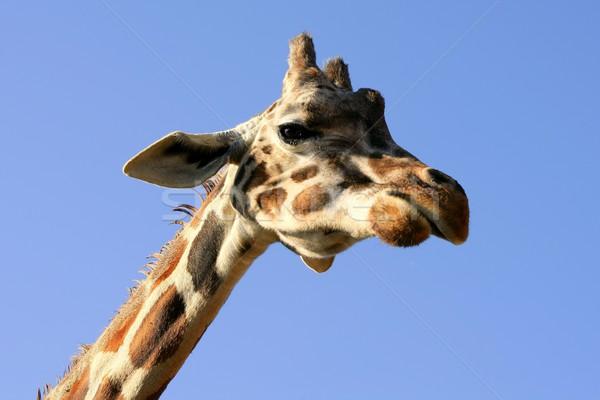 Giraffe portrait, head and neck over blue sky Stock photo © lunamarina
