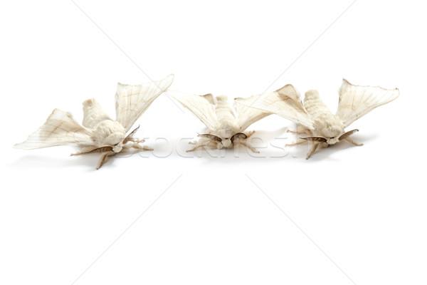 butterfly white of silkworm silk worm isolated Stock photo © lunamarina