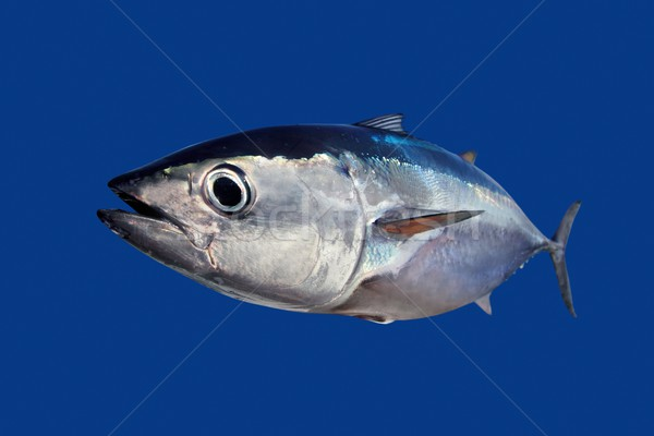 Photo stock: Thon · poissons · isolé · bleu · eau · nature