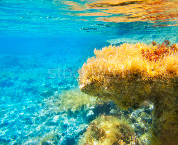 Ibiza Formentera underwater anemone seascape Stock photo © lunamarina