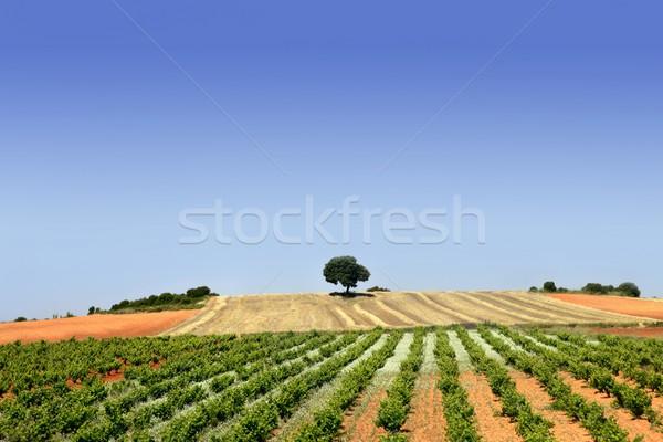 Foto stock: Verde · vinha · campo · toranja · agricultura