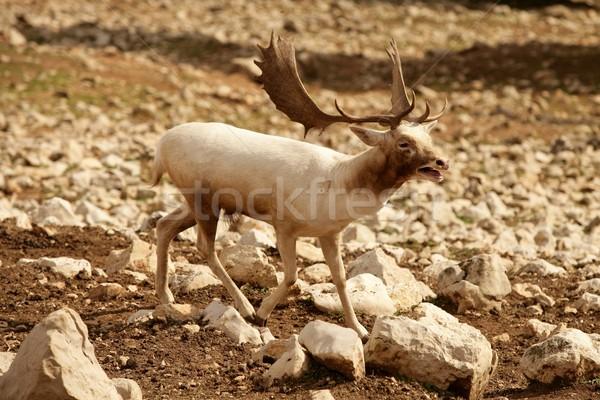 Beautiful white fallow deer on a rocky  Stock photo © lunamarina