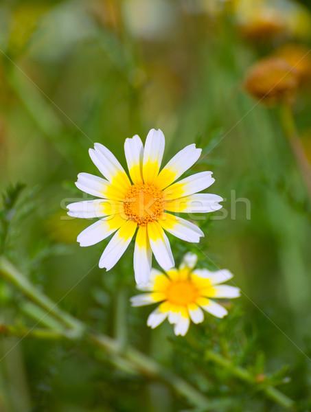 Primavera Daisy blanco amarillo flores silvestres Pascua Foto stock © lunamarina