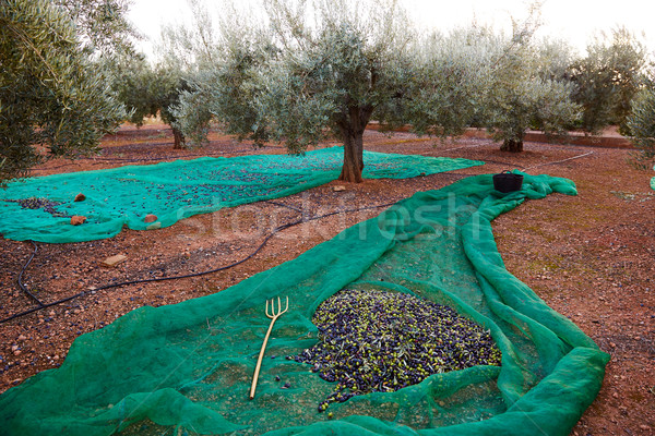 Olives harvest picking with net at Mediterranean Stock photo © lunamarina
