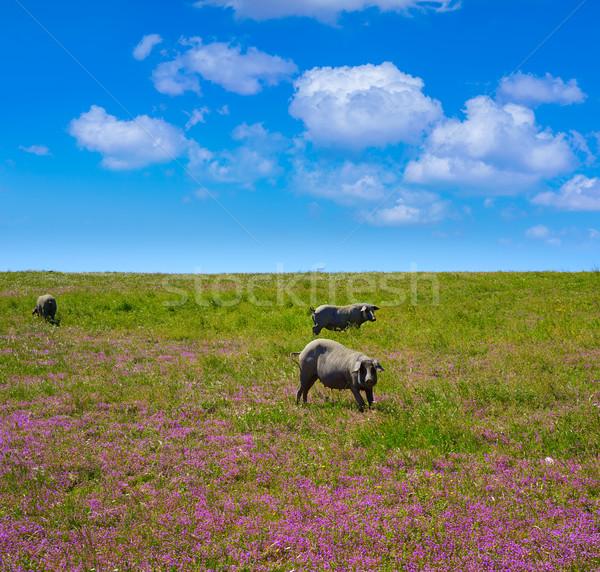 Disznóhús Spanyolország tavasz fű háttér disznó Stock fotó © lunamarina