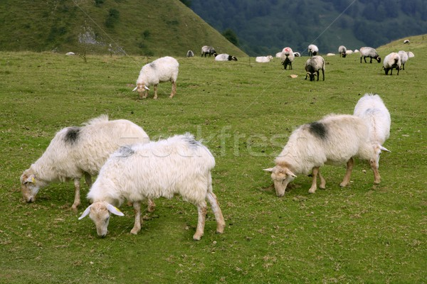 Green meadow with Pyrenees sheeps Stock photo © lunamarina