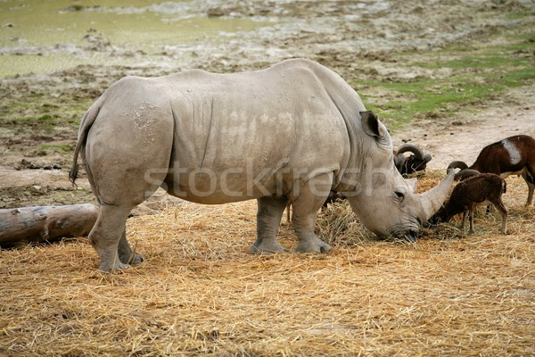 Stock photo: Eating rhino eating african rhinoceros stand up