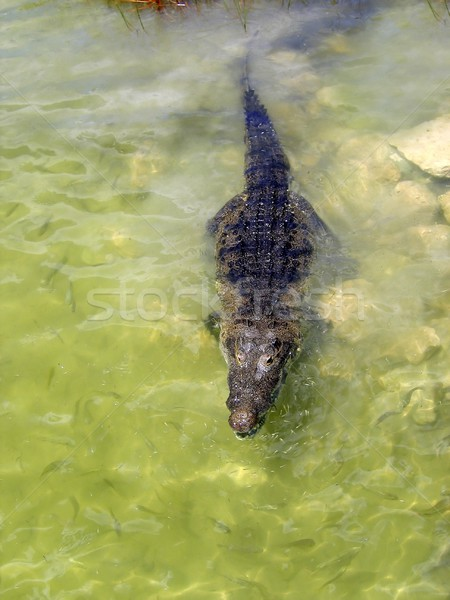 Krokodil göl merkezi Amerika gerçek su Stok fotoğraf © lunamarina