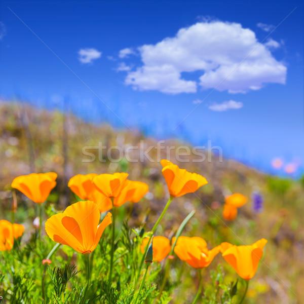 Poppies poppy flowers in orange at California spring fields Stock photo © lunamarina
