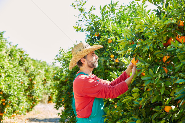 Farmer man harvesting oranges in an orange tree Stock photo © lunamarina