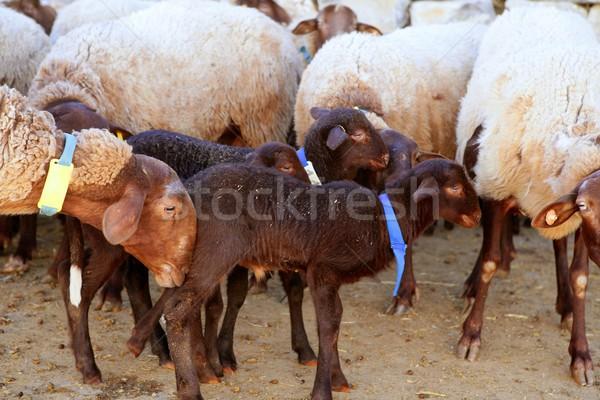 Сток-фото: ребенка · ягненка · фермы · матери · овец