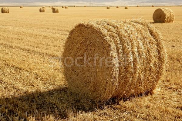 Siano bela suszy pszenicy zbóż roślin Zdjęcia stock © lunamarina