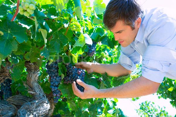 Winemaker oenologist checking bobal wine grapes Stock photo © lunamarina