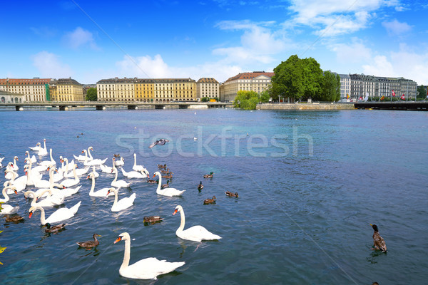 Swans in Geneve Geneva of Switzerland Swiss Stock photo © lunamarina