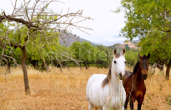 Brown and white horses in Majorca mediterranean field Stock photo © lunamarina