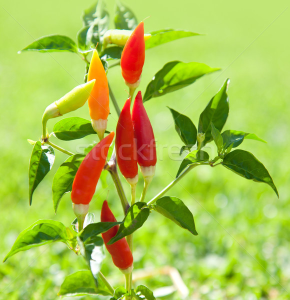 Stock photo: chili hot peppers plant in red and orange