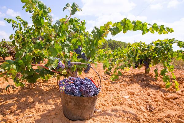 Aratás bor szőlő aratás mediterrán étel Stock fotó © lunamarina