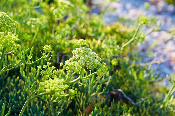 Samphire Crithmum maritimum plant Spain Stock photo © lunamarina