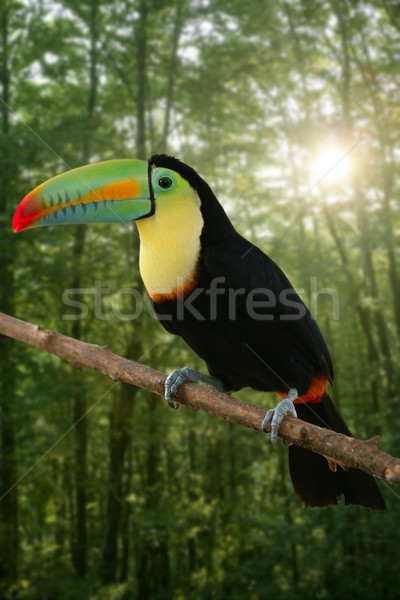 Kee billed Toucan bird colorful Stock photo © lunamarina